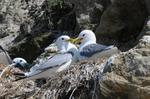 Black-legged Kittiwake (Rissa tridactyla)